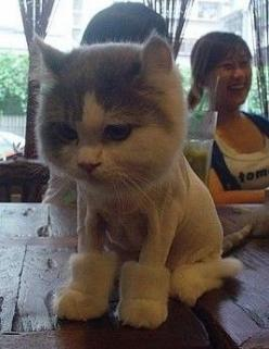 Poor cat looks miserable: Cats, Ugg Boots, Animals, Funny, Shaved Cat, Poor Kitty, Buzz Cut, Cat Lady