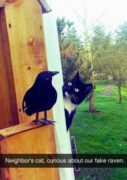 To document nature in action. :Reasons every pet owner should use Snapchat: Animals, Funny Pictures, Funny Cats, Pet, Fake Raven, Funny Stuff, Funnies, Silly Cat