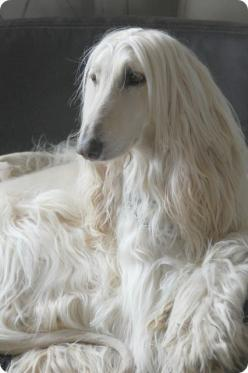 14 Dog Breeds Closely Related To Wolves: Beautiful Afghan, Hound Dogs, Dogs Pet, Animals Dogs, Dogs Puppies, Beautiful Dogs