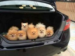26 Photos So Cute They Will Make You Squeal Every Damn Time: Pomeranian S, Pom Poms, Trunk Full, Pomeranian Dogs, Pompom, Pom S, Pomeranians, Pomeranian Puppy