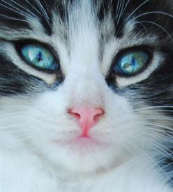 """""""A kitten is in the animal world what a rosebud is in the garden."""" --Robert Southey: Kitty Cats, Cat Face, Beautiful Cats, Cat Eyes, Pretty Cat, Beautiful Eyes, Blue Eyes, Cat S Eyes, Animals Cats"""