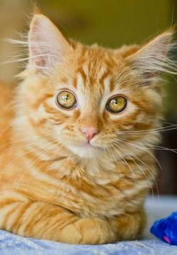 """Cat: n.  A Pygmy lion who loves mice, hates dogs and patronized human beings."" --Oliver Herford: Eyes I M, Beautiful Cats, Tabby Cat, Big Eyes, Beautiful Eyes, Bright Eyes, Cats Kittens, Cats Big"