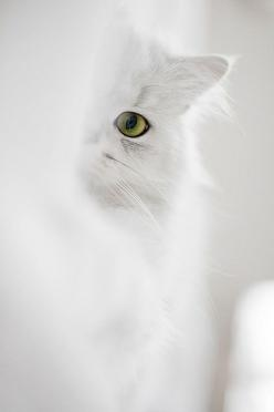 """Cats are not impure, they keep watch about us."" --The Prophet Mohammed: Beautiful Cat, Kitty Cat, Peek A Boos, White Cats, Kitty Kitty, White Kitty, Green Eye, Color White"