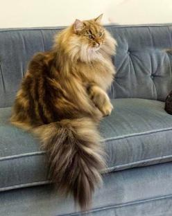"""""""Her function is to sit and be admired."""" --Georgina Strickland Gates: Cat Beautiful, Beautiful Cat, Kitty Cat, Norwegian Forest Cat, Maine Coon, Fluffy Cat, Coon Cat"""