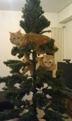 "* * "" I wuz here first. Den Annoying Orange had to be a copy-cat. He's on a branch dat's notz gonna hold...ha-meowzha."": Kitty Cat, Christmas Decoration, Funny Cat, Christmas Cat, Cat Tree, Kittycat"
