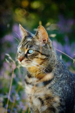 """""""When she walked she stretched out long and thin like a little tiger, and held her head high to see over the grass as if she was treading the jungle."""" --Sarah Orne Jewett: Cats Meow, Kitty Cats, Pretty Cat, Cats 12, Blue Eyes, Kitty Kitty, Cat S,"""