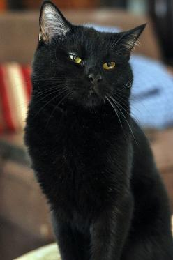 """When the tea is brought at five o'clock and all the net curtains are drawn with care, the little black cat with the black cat with bright green eyes is suddenly purring there."" --Harold Monro: Beautiful Black Cats, Cats Bff, Beautiful Cats, B"