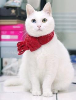 Ash, remember my white kitty at grandma oras w the blue and green eyes?!: Christmas Cats, Kitty Cats, Beautiful Cat, Red Scarf, White Cats, Kitty Kitty, Christmas Kitty, Green Eyes, Cats Kittens