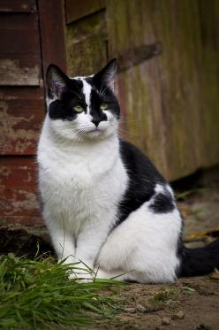 Beautiful black n white rescue kitty ♥: Cats Cats, Beautiful Cats, Animal Photography, Animals Cats, Cats Kittens, Rescue Cat