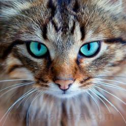 """❥ Beautiful kitty with turquoise eyes <3 ... I""""m sure it's photoshopped, but pretty nonetheless.: Cute Animal, Animal Kitty, Cats Eyes, Beautiful Cats Photos, Eyes Photoshopped, Animal Cat Eye, Cat Photos, Cat Eye Animal"""