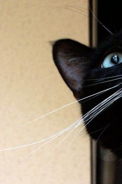 Because his long white whiskers tickled, I began every day laughing. (Janet F Faure): Beautiful Cat, Pretty Eye, Black Kitty, Cat Eye, Chat Noir, Black Cats, Beautiful Eyes, Blue Eyes, Blackcat