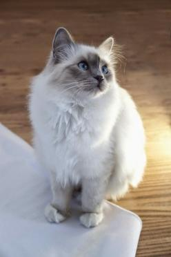 Birmans maintain a balance between playfulness and affection. These adaptable cats like playing games with other pets and children, but also appreciate a good cuddle when everything has calmed down. Not steadfast lap cats, Birmans will occupy themselves f