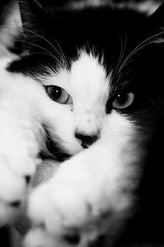 Black and White (Cat)