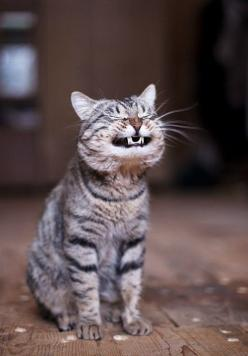 Bleah !! ....^..^: Kitty Cat, Happy Face, Funny Cat, Smiling Cat, Kitty Kitty, Crazy Cat, Happy Cat, Funny Animal