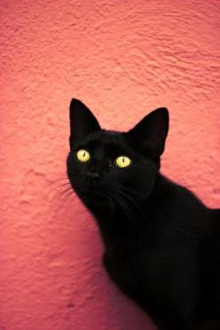 "Bless the black cats of the world.  Stupid superstitions are still rampant in some countries where black cats are abused and killed because of their colour. I ♥ my Black Cat - Draco ""The Dragon "" Meowfoy.: Cat Photography, Cat Draco, Kitty Cat, Bl"