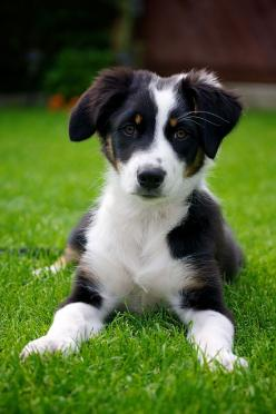 Border Collie Maja II by Rene Columbus: Border Collies, Border Collie Puppy, Pets Animals, Border Collie Puppies, Bordercollies Puppies, Border Collie Pups
