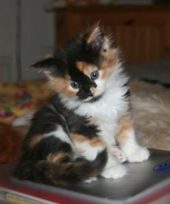 Calico kitten...want! A long haired polydactyl (extra toes) calico is my dream kitty: Long Haired Kitten, Maine Coon Cats, Calico Kittens, Maine Coon Kittens, Calico Kitties, Calico Cats, Cats Kittens