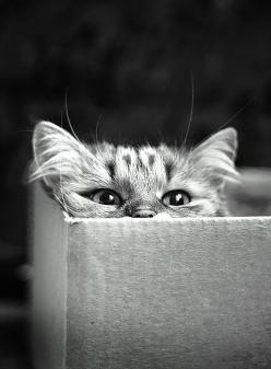 """* * CatMatch.com: """"Extremely shy one-year old female seeks male two years or under to share empty boxes and for general cowering."""": Cats Cats, Kitty Cats, Cat Boxes, Kitty Kitty, Cat S, Peek A Boo, Kittycat, Cat Lady"""