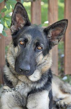 Cinnamon von Essen is available for adoption at Westside German Shepherd Rescue of Los Angeles