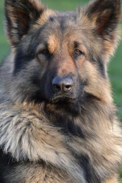 Cooper - Shiloh Shepherd   ...........click here to find out more     http://googydog.com: Shiloh Shepard, German Shepherd, Guard Dog, German Shepard, Gsd