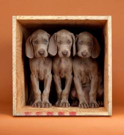 Crate trained. Photo by William Wegman: William Wegman Photography, Dogs Weimaraners, Trained Photo, Adorable Dogs, Weimaraner S, Weimaraner Pups, Doggy S, Wegmans Photos, Wegman S Weimaraners