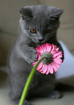 Cute kitten with flower :)  What they don't tell you is that ten seconds later this flower was totally shredded!: Pink Flower, Cute Animal, Russian Blue, Kitty Cat, Grey Kitten, Kitty Kitty, Adorable Animal, Kittycat
