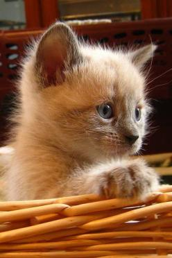 diesen Blick kenn ich ... kommt gleich ein Angriff ;-) https://www.facebook.com/Naturcoach/app_237260109714883: Kitty Cats, Siamese Kittens, Fluffy Kitten, Adorable Kitten, Kitty Kitty, Kittens Cats, Cats Kittens, Baby Cat