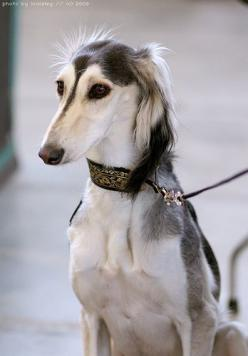 Dog show beauty (Not my dog!) (4) by houseofduke, via Flickr: Kitty Cat, Animal Photography, Saluki Dog, Justcatsanddogs Dogs, Cats And Dogs
