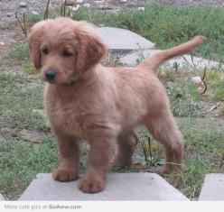 Full grown golden cocker retriever. they stay looking like puppies forever!: Puppy Forever, Full Grown, Cocker Spaniel, Golden Cocker Retriever, Animalss, Future Pet, Golden Retriever
