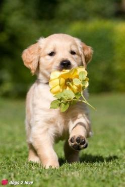 "Golden Retriever . ""Look I picked a flower for you..."": Cute Animal, Yellow Rose, Cute Puppies, Golden Retrievers, Yellow Flower, Adorable Animal, Golden Retriever Puppies"
