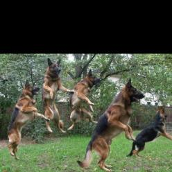 Great shot !: German Shepherd Dogs, German Shepards, Dancing Dogs, Dogs Pets, Animals And Pets, German Shepherds, German Sheperd, Pets Germanshepherds, German Shephard