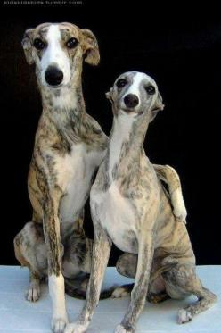 Grey hounds are amazing dogs that have been subject to so much abuse....please send them virtual love! kd: Doggie, Happy Couples, Best Friends, Sweet, Bff S, Bffs, Sighthound, Italian Greyhounds