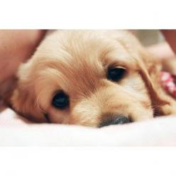 Hi: Cute Puppies, Puppy Love, Golden Retrievers, Pet, Puppy Dog Eyes, Box, Puppy Eyes, Adorable Animal, Furry Friends