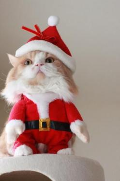 I can only imagine how much this kitty hates his owner right now! Lol: Cats Christmas, Christmas Cats, Christmas Animals, Xmas Cats, Christmas Kitties, Cat Christmasgift, Cat Costumes, Dogs Cats