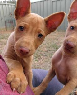 I wish I could have seen her as a puppy!  Pharoah hound puppy: Canine, Animals Pets, Dogs Puppies, Dogs Cats, Puppy, Dog Breeds, Friend, Beautiful Dogs