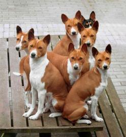 Information About The Basenji Dog Breed: