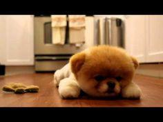 Is this the cutest dog in the world? Boo the Pomeranian has millions of fans and his own book.