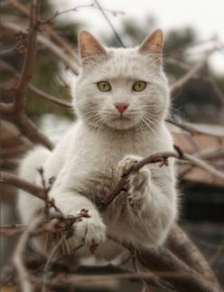 It's winter. You know how I know that? There's no leaves on these branches I'm chillin on.: Cats Cats, Kitty Cat, Beautiful Cats, Pretty Cat, Crazy Cat, Kitty Kitty, Pretty Kitty, Cat S, White Cat