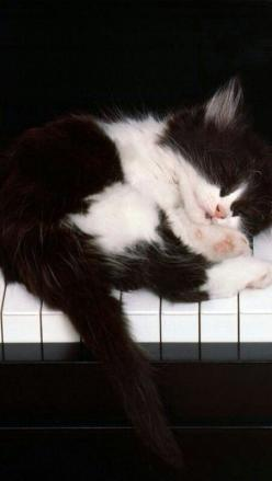 Kitty on the Keys! -one of my favorite musical pieces by Frank Mills ❤️: Cats, Black And White Cat, Sweet, Black White Cat, Adorable Kitten, Black And White Kitten, Day, Animal