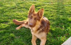 liver-colored german shepherd. so pretty!: Dogs Dogs, Puppies Dogs, Baby Doggie, Liver Colored German Shepherd, Animal Adorableness, Police Dogs, Shepherd Colors, Dogs German Shepherds
