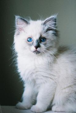 Louis by emilroz, via Flickr: Wild Animal, Ragdoll Cat, Beautiful Cat, Kitty Cat, Fluffy Kitten, Adorable Kitten