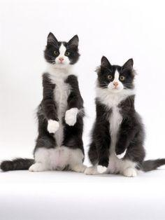 Love tuxedos.....especially when they sit up on their hind legs! I really want this as a charrie. Little tux Maine coin.<3
