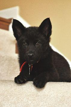 My black german shepherd when she was just a tiny pup. Dog Breed Photography Puppy Hounds Chien Puppies Pup
