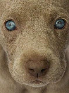 Not sure what kind of pup this is, but aren't those lovely eyes? I always wanted a Weimaraner!