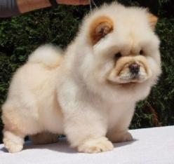 Ok all puppies are cute. But these are by far the cutest!: Dogs Days, Animals Pet, Fluffy Dogs, Animals Dogs Insects Etc, Chowchow, Dogs Pt, Affectionate Dog, Dog Breeds, Big Dogs