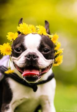 Oups! I love flowers, there so beautiful and smel so nice #BostonTerrier: Happy Bostonterrier, Terrier Flower, Bostonterriers, Boston S, Flower Children, Boston Terriers