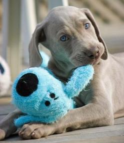 "Owning a Weimaraner is a full-time job, but one that, if well-done, pays handsomely. The ""grey ghost"" is one of the most loyal, devoted, and loving breeds in the world, but they will expect the same level of devotion from you. They require lots of"