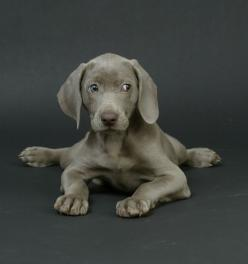 pics weimeraners - Bing Images: Cute Puppies, Puppy Weimaraner, Weimaraner Puppies, Dogs Weimaraner, Weimaraner S, Weimeraner Baby, Weimeraner Puppy, Weimeraner Puppies