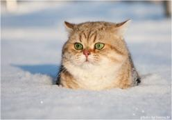 Pudgy kitty: Kitty Cat, Cute Cats, Funny Cat, Funny Picture, Snow Cat, Kitty Kitty, Fat Cats, Funny Animal, Snowcat