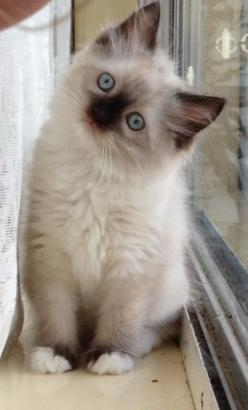 Ragdoll kitten: Cat Kittens, Ragdoll Kitties, Ragdoll Cats, Animals Pets, Animals Cats, Kitty, Pets Cat